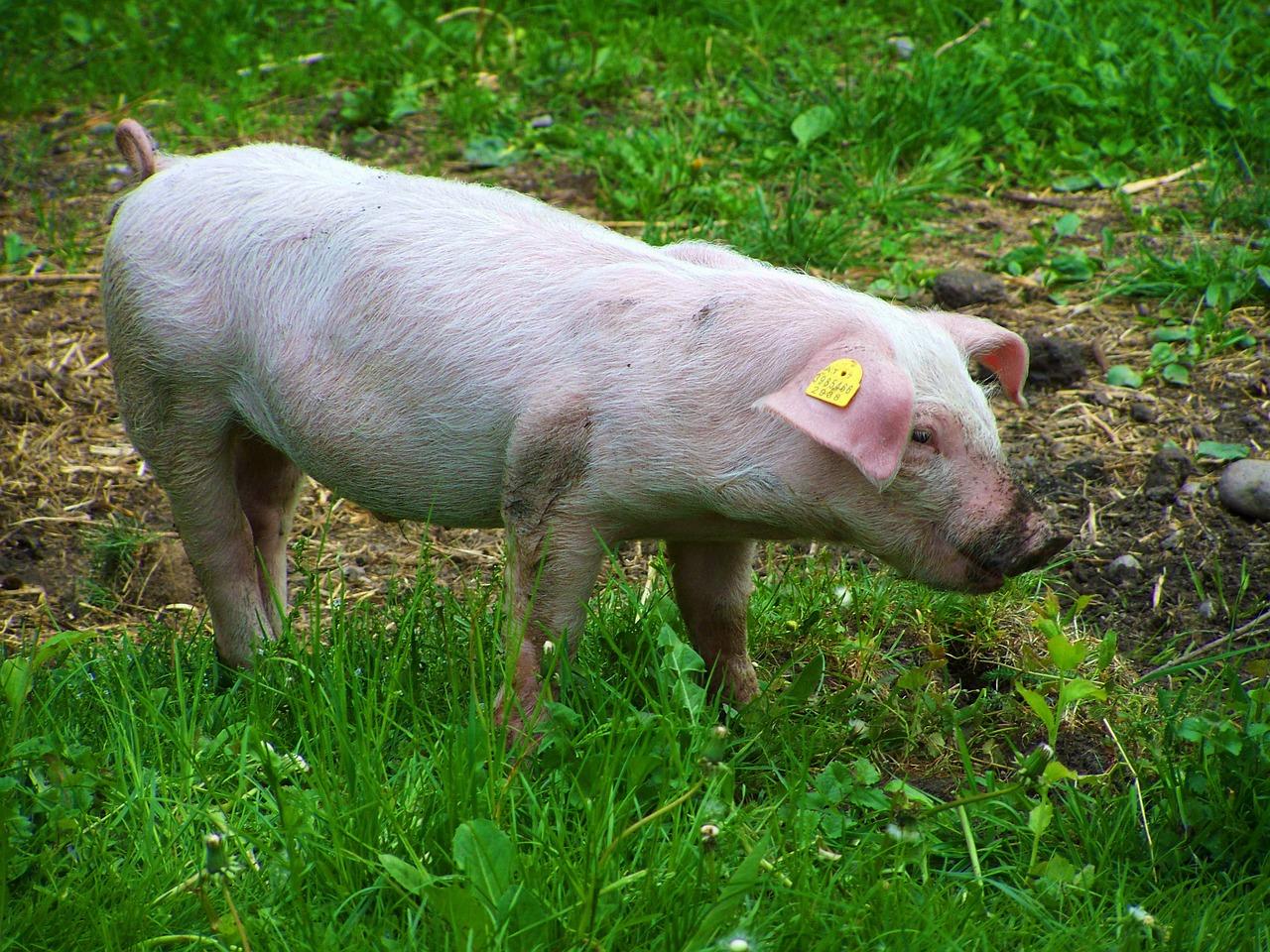 Ganadería porcina de Soria
